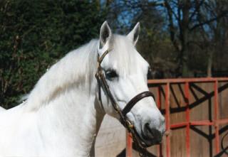 Lishmar Connemara Ponies